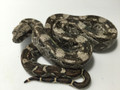 Cay Caulker Boa Constrictors for sale | Snakes at Sunset
