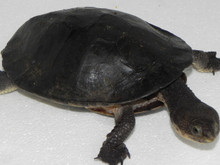 Gibba Turtles for sale