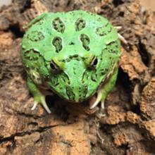 Samurai Blue Teal Pac Man Frog For Sale