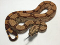 Hypo Arabesque Boas for sale | Snakes at Sunset