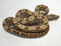 Hypo Sonoran Boas for sale | Snakes at Sunset