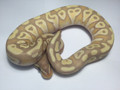Coral Glow Mojave Ball Python for sale | Snakes at sunset