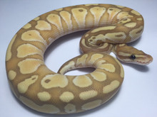 Coral Glow Butter Ball Python for sale   Snakes at sunset