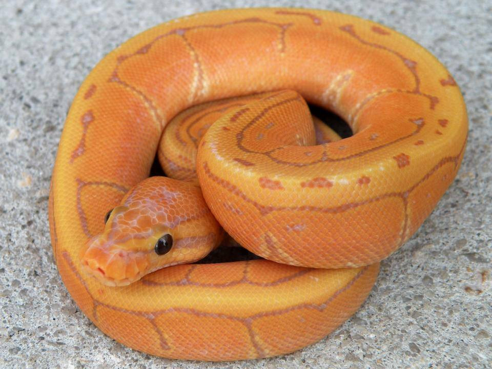 Coral Glow Pinstripe Ball Python for sale (Python regius)