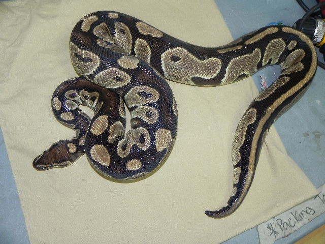 Adult Male Ball Python for sale (Python regius)