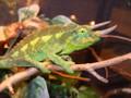 Jacksons Chameleons for sale