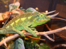 Jacksons Chameleons for sale