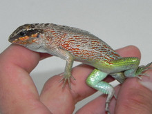 Jewel Curly Tail Lizard for sale