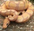 Coral Glow ENCHI Ball Python for sale (Python regius)
