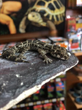 Viper Geckos for sale | Snakes at Sunset