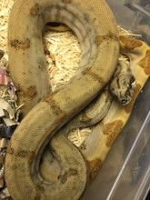 Pearl Island Boas for sale | SNakes at Sunset
