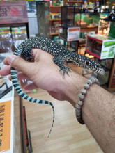 Blue Tail Monitors for sale | Snakes at Sunset