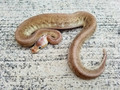 Pastel Gargoyle Ball Python for sale