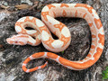 Sunglow Boas for sale