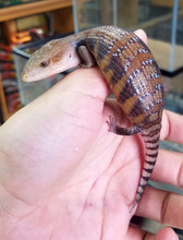 Northern Blue Tongue Skinks