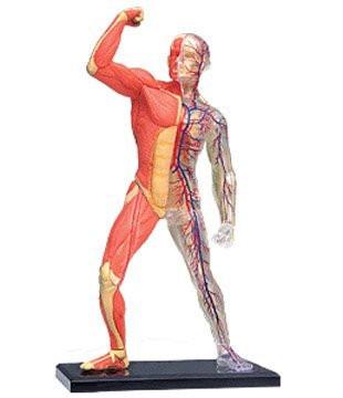 4D Vision Visible Human Muscle & Skeleton Anatomy Model Kit - 26058