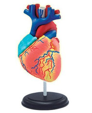 4D Vision Visible Human Heart Anatomy Model Kit - 26052