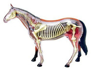 4D Vision Visible Horse Anatomy Model Kit - 26101