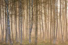 Real birch trees with backlighting sunset photographer backdrop