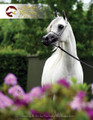 The Arabian Breeders' Magazine - Volume II Issue II