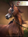 The Arabian Breeders' Magazine - Volume III  Issue I