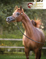 The Arabian Breeders' Magazine - Volume III Issue II