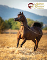 The Arabian Breeders' Magazine - Volume IV Issue I