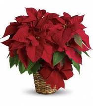 Red Poinsettia Basket (Medium)