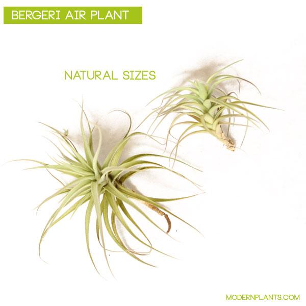 bergeri-air-plant-tillandsia.jpg