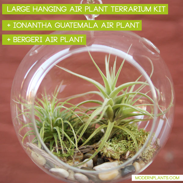 bergeri-air-plant