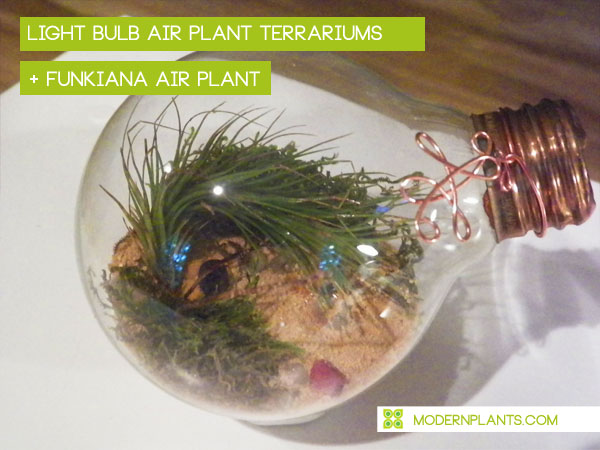 light-bulb-air-plant-terrariums.jpg