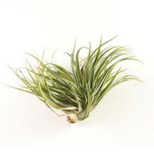 Geminiflora Hybrid air plant