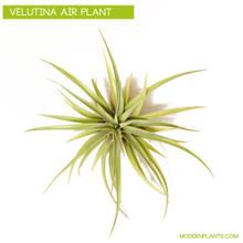 velutina air plant