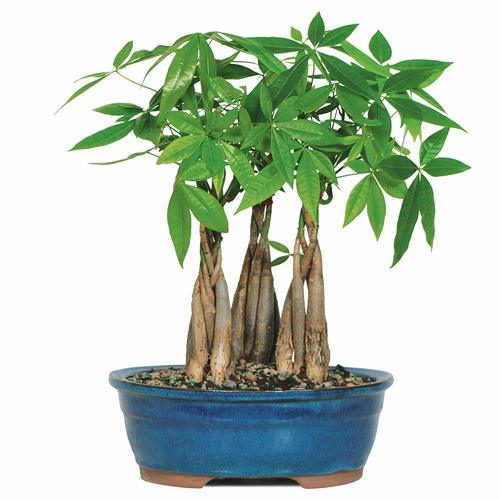 Money Tree Grove (Indoor) - Bonsai Outlet