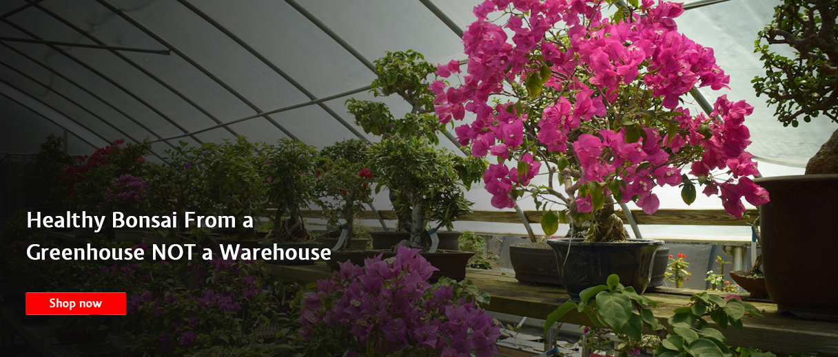 Healthy Bonsai From a Greenhouse NOT a Warehouse