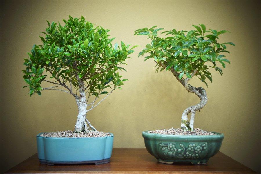 Quality Bonsai Trees Amp Supplies 100 000 Trees Shipped