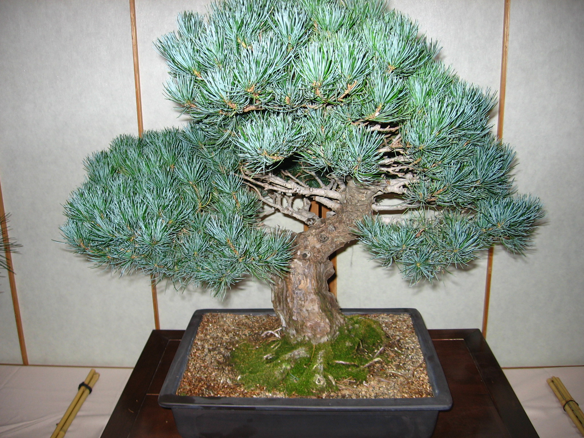 Bonsai Trees are Unique Gifts You Can Afford to Give