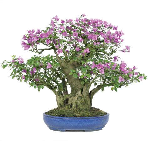 bougainvillea-bonsai-tree.jpg