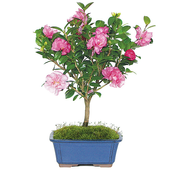 camellia-bonsai-tree.jpg