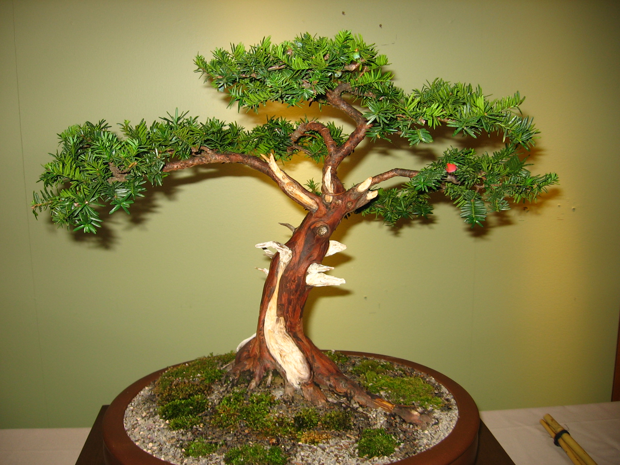 Stupendous Chinese Yew Bonsai Care Wiring Digital Resources Antuskbiperorg