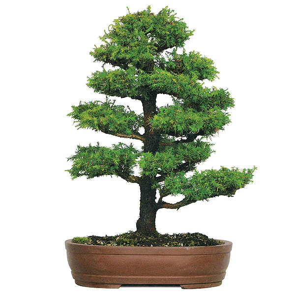 Surprising Dwarf Cryptomeria Care Wiring Digital Resources Funapmognl