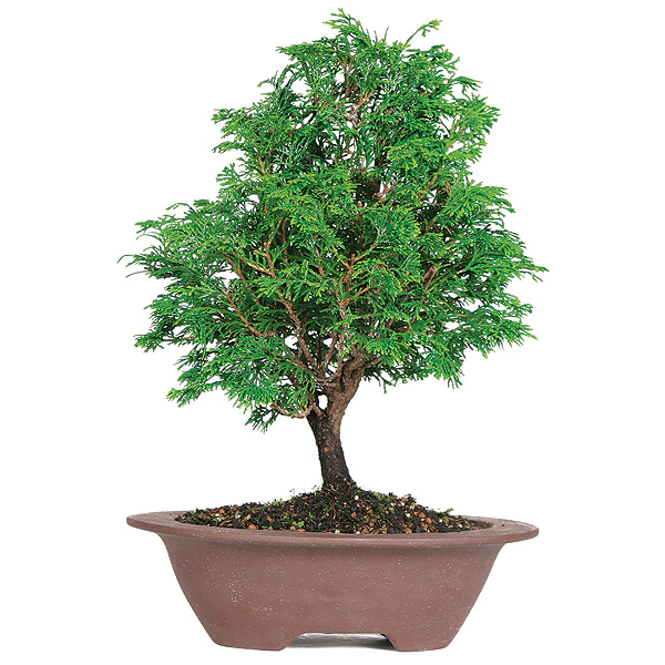 dwarf-hinoki-cypress-bonsai-tree.jpg