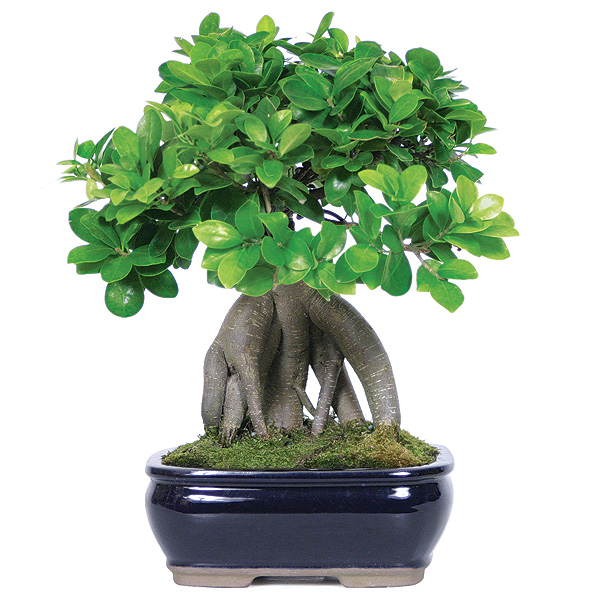 Ginseng Grafted Ficus Care