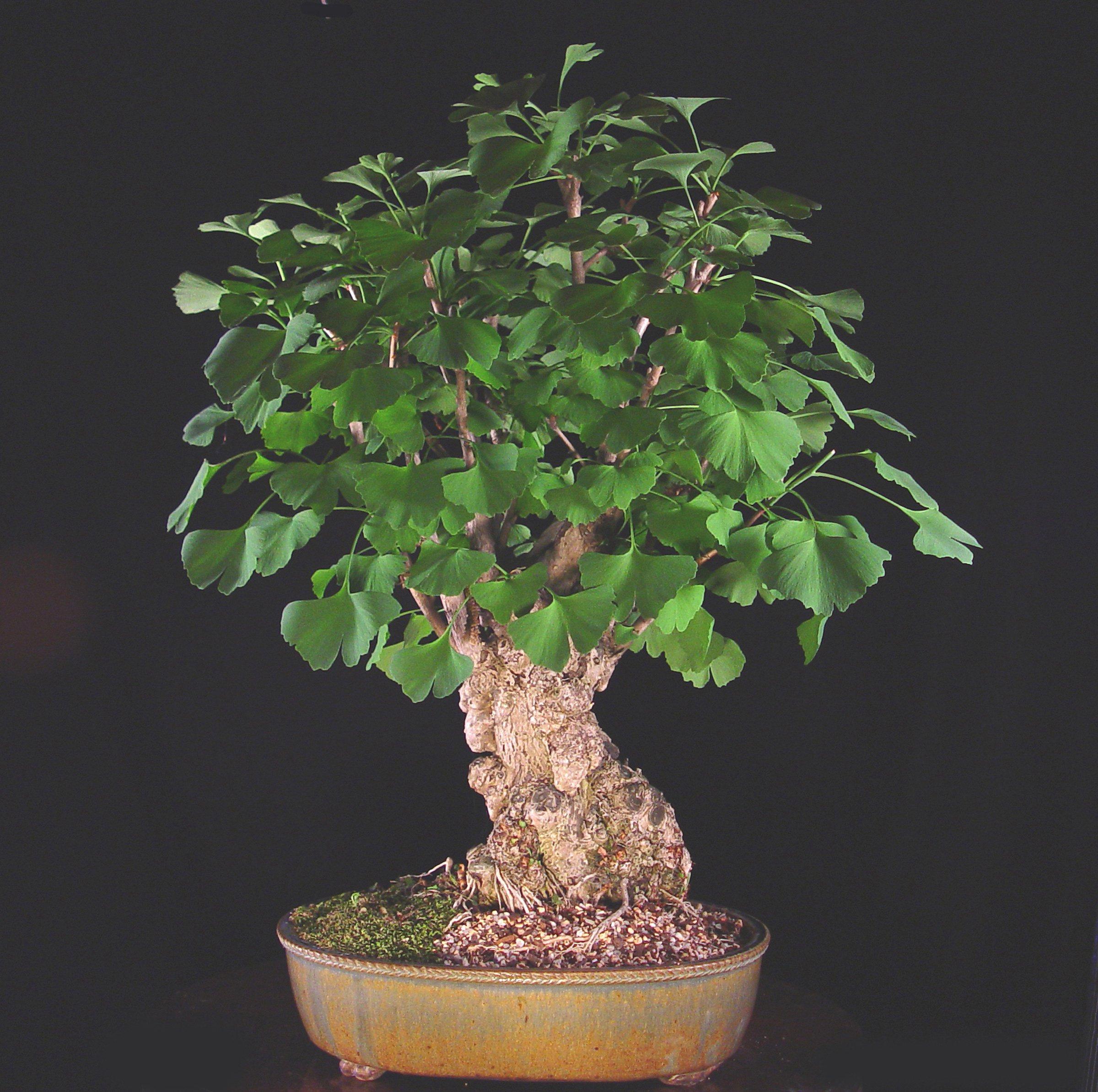ginkgo biloba care rh bonsaioutlet com Bonsai Copper Wire Bonsai Wire Sizes