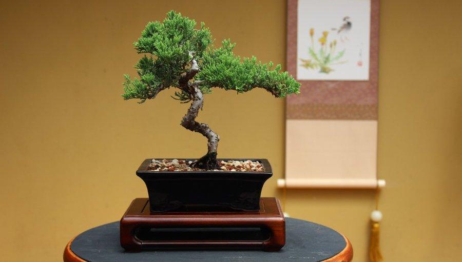 Quality Bonsai Trees Supplies 100 000 Trees Shipped