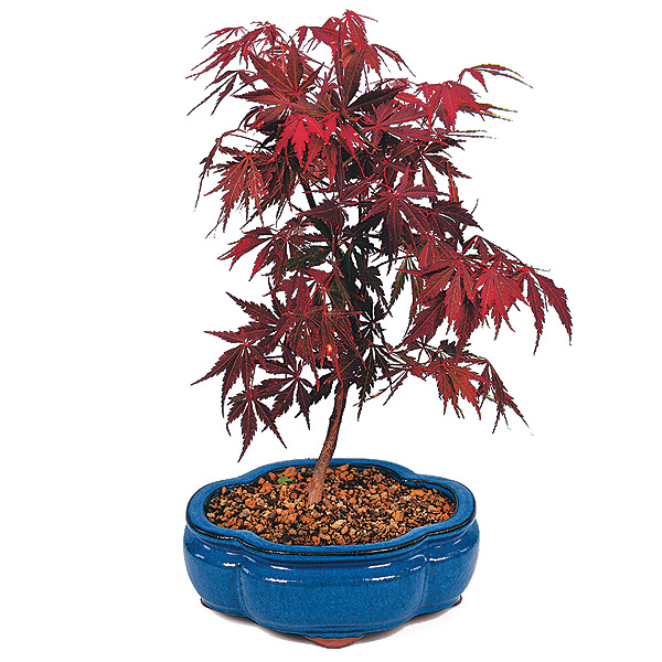 Three Common Myths About Bonsai Gardening Bonsai Outlet