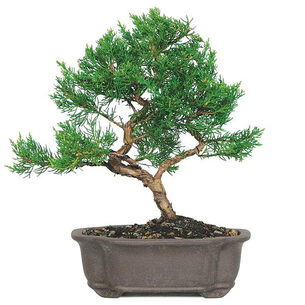 shimpaku juniper bonsai care bonsaioutlet com rh bonsaioutlet com wiring juniper bonsai tree care indoor wiring juniper bonsai tree