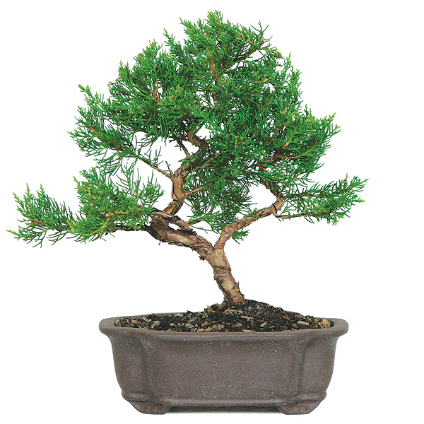 Shimpaku Juniper Bonsai Care | BonsaiOutlet.com