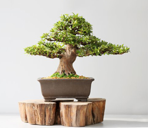 Bonsai Tree | Bamboo Plants | Indoor, Outdoor | Pots And Tools
