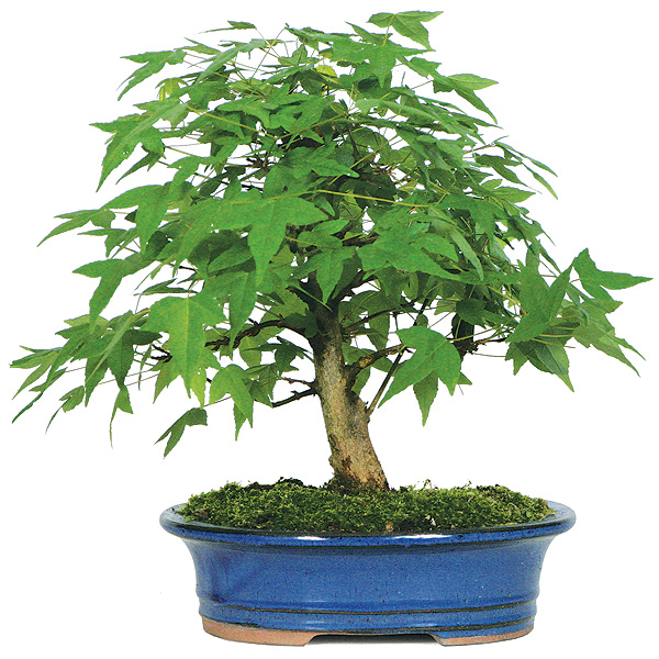 trident-maple-bonsai-tree.jpg